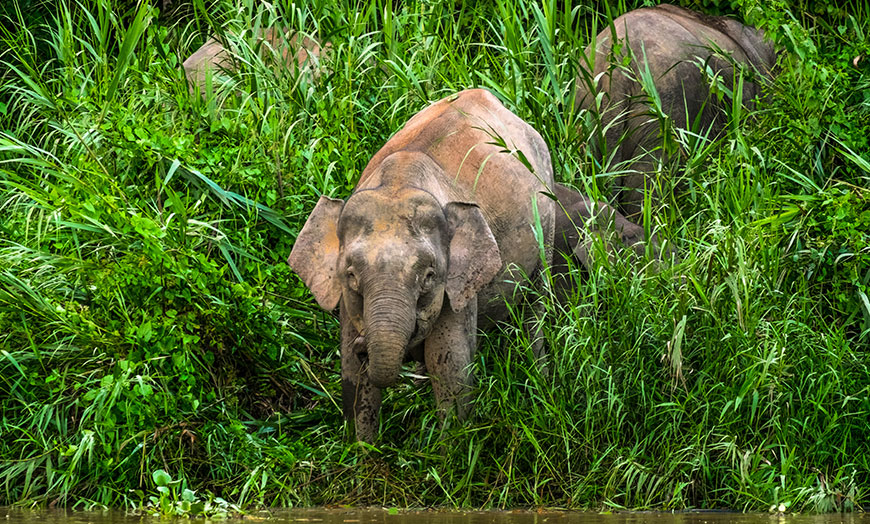 Rare Borneo pygmy elephant in the jungle of Borneo, Malaysia