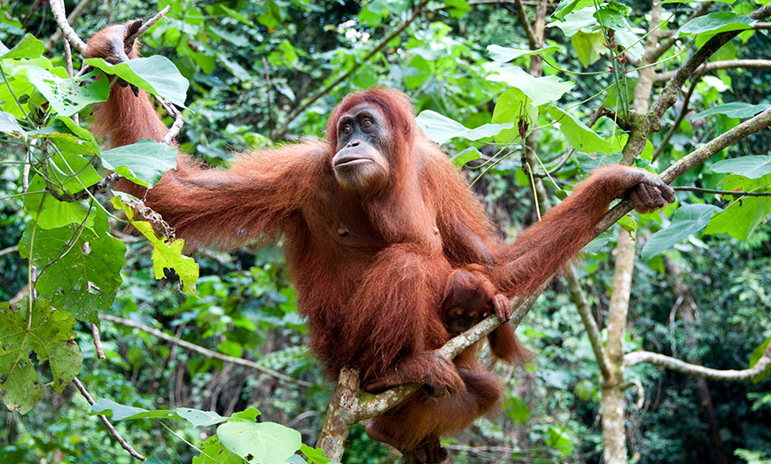 Adult orangutan in the rainforest of Borneo, Malaysia