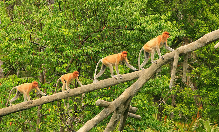 Proboscis monkeys in the Danum Valley, Malaysian Borneo