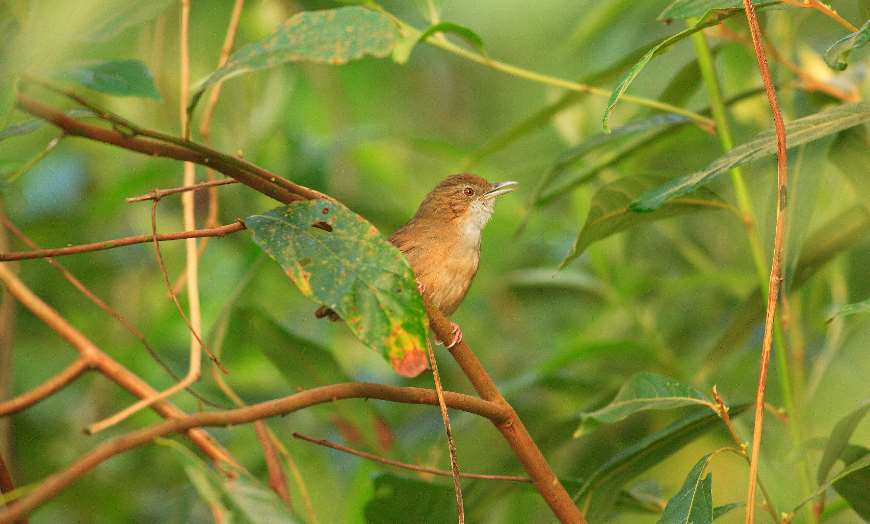 Small brown bird hiding amongst foliage in a national park in India