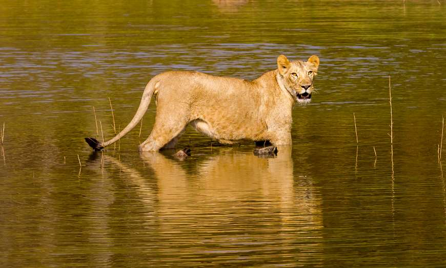 Asiatic lion standing in a pool of water looking to the right in a national park in India
