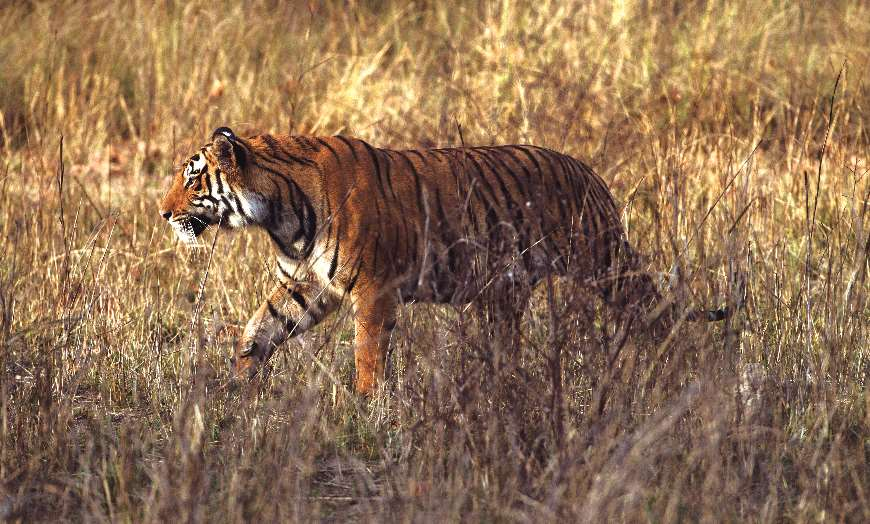 Bengal tiger walking through long sun-bleached grass in a national park in India