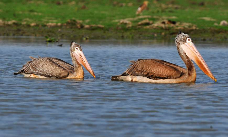Two pelicans on a lake in India