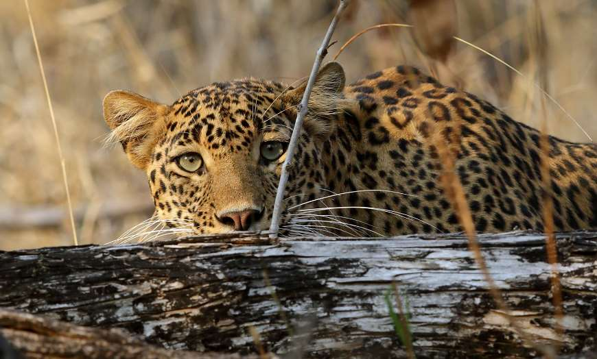 Leopard crouching down behind a log in a national park in India