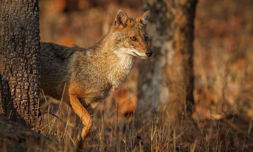 Light brown jackal walking through a forest in a national park in India