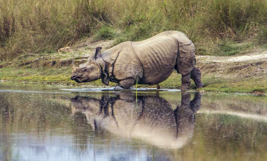 One horned rhinoceros entering a lake in a national park in India