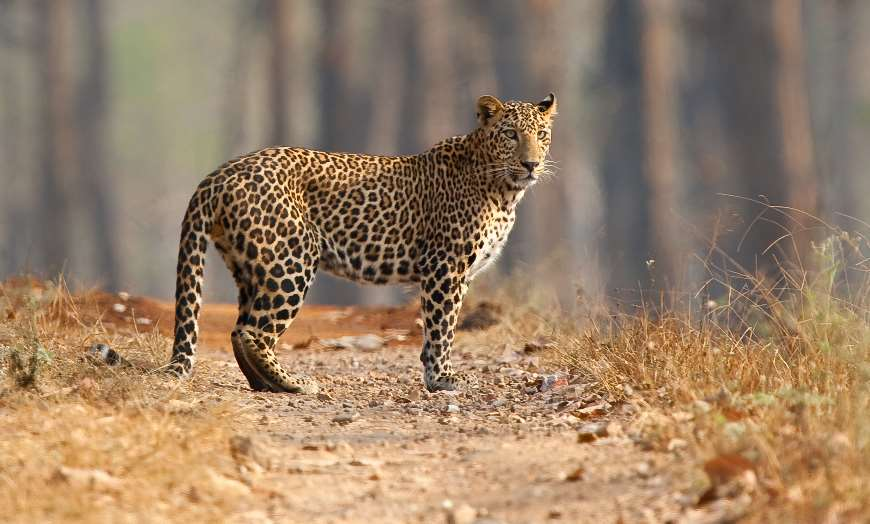 Leopard standing on a stony jungle trail in a national park in India