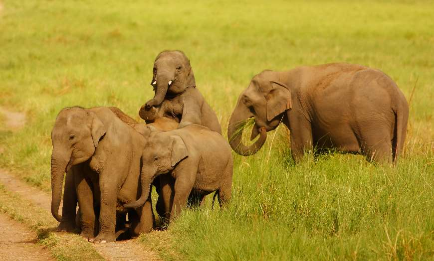 Family of four elephants playing in a national park in India