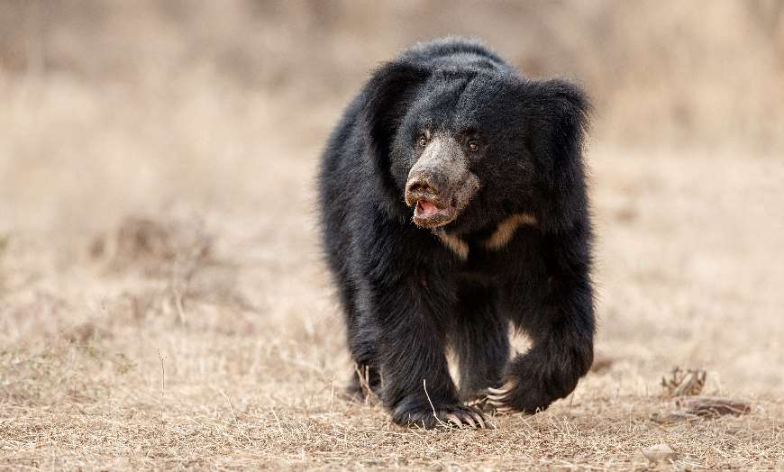 Large sloth bear walking through a forest clearing in a national park in India