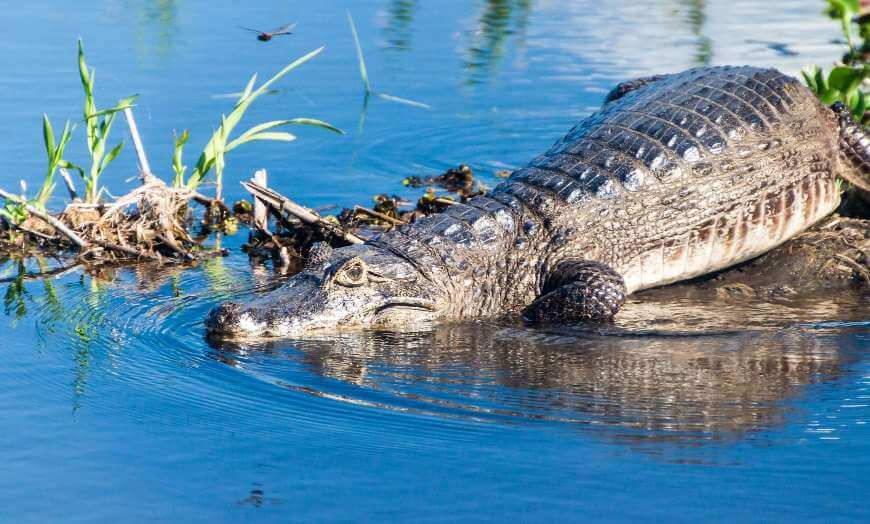 Caiman laying in water in the Esteros del Ibera wetlands, Argentina