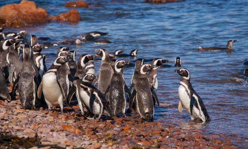 Magellanic penguins on Argentina's Atlantic Coast in Patagonia