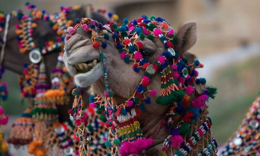 Smiling camel wearing multi-coloured decorations at the Jaisalmer Desert Festival in Rajasthan, India