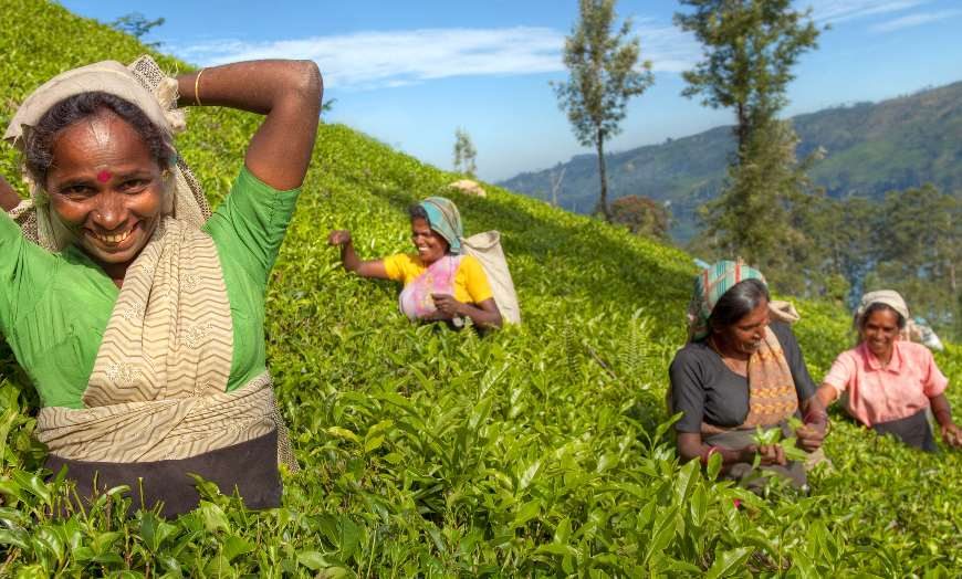 Female Tea Pickers in Hills of Sri Lanka
