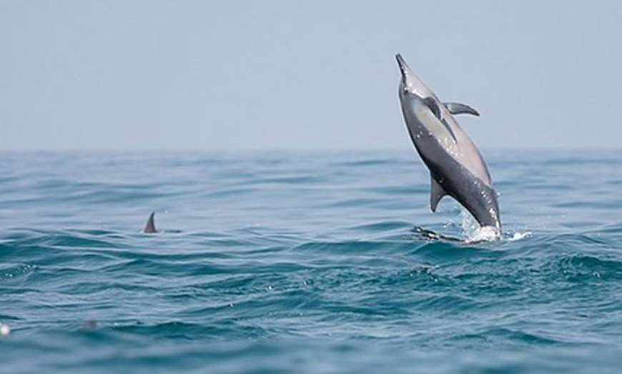 Dolphin leaping out of the sea at Kalpitia, Sri Lanka