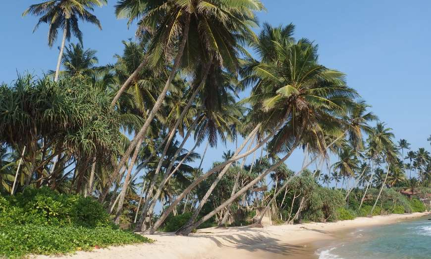 Large palm trees swaying in the wind at Dikwella, Sri Lanka