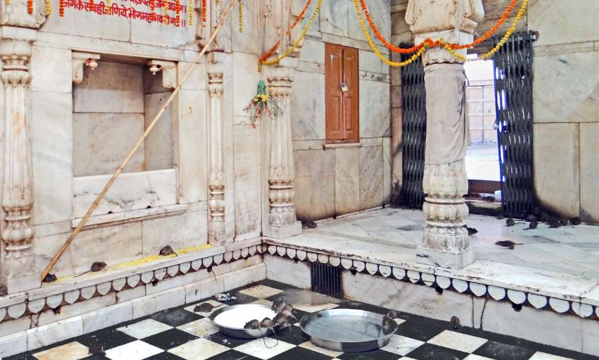 Rats drinking a holy offering of milk at the Karni Mata Temple in Deshnoke, Rajasthan