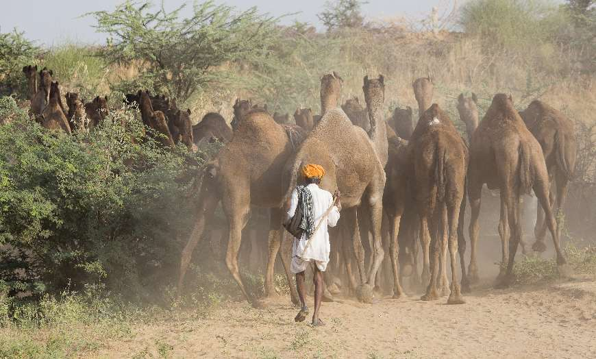Man in orange turban with his herd of camels in Rajasthan
