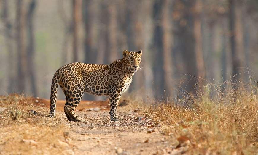 A leopard on a track at a national park in India
