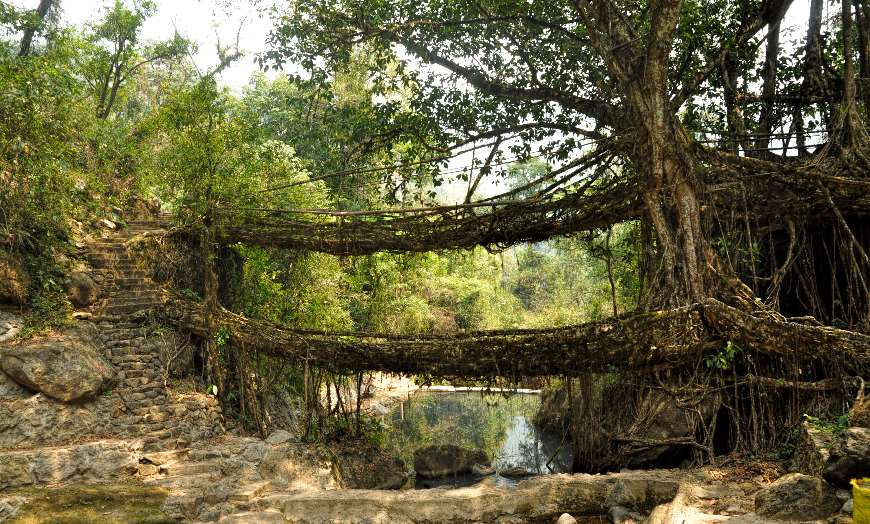 View of one of the unique Root Bridges surrounded by thick forest in Meghalaya, India
