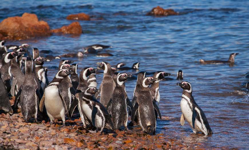 Magellanic penguins on the Atlantic Coast in Patagonia, Argentina