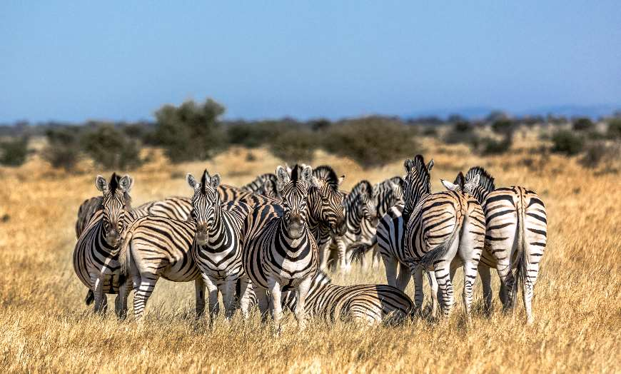 Herd of Zebras in a national park in South Africa