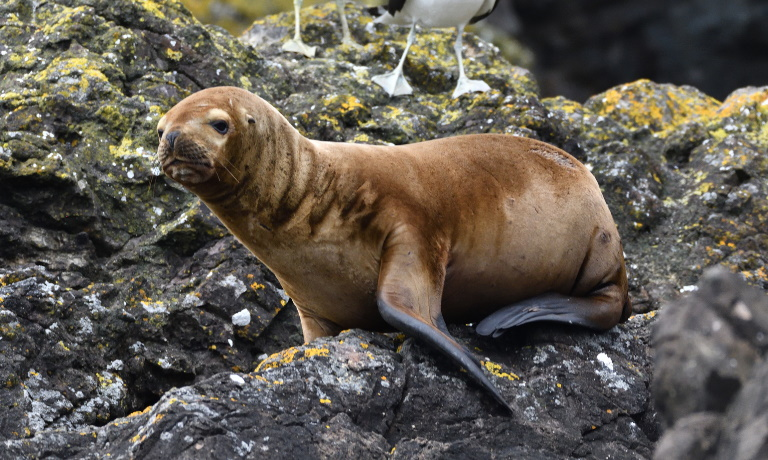 South American sea lion in Chile
