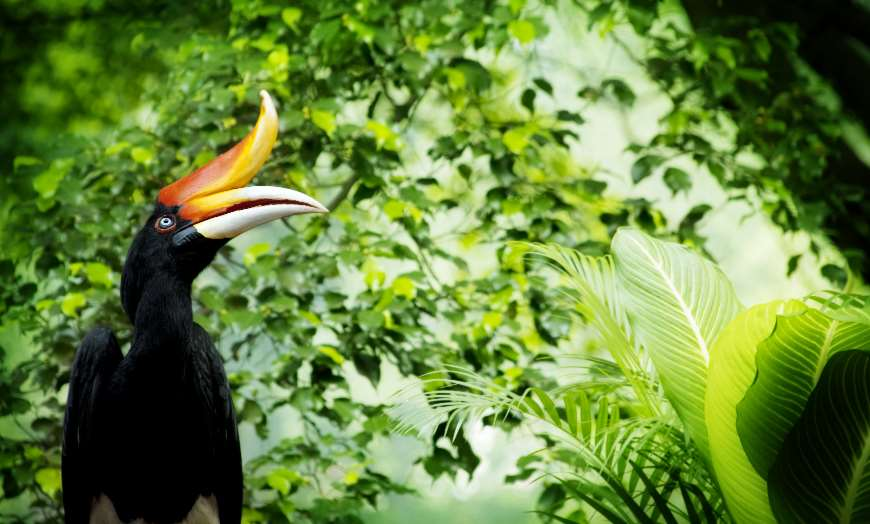 Hornbill sitting on a branch in the Borneo rainforest, Malaysia