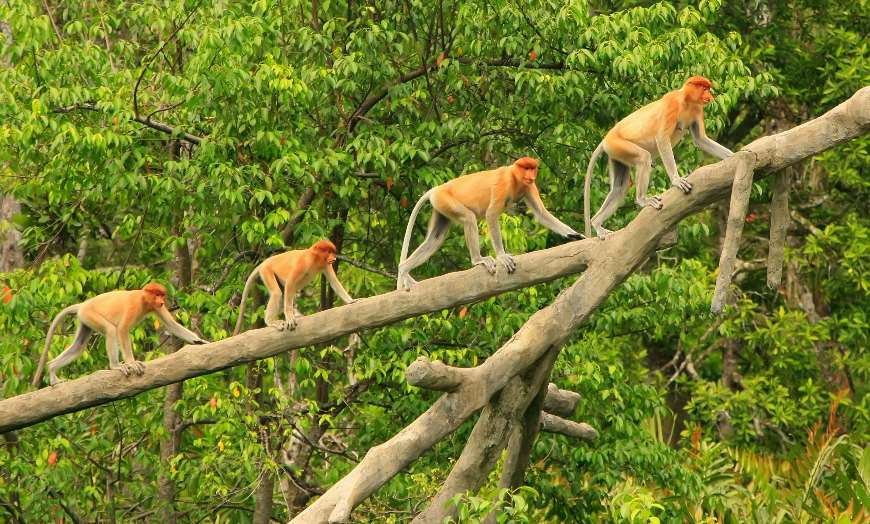 Four proboscis monkeys walking on a branch in the Danum Valley in Borneo, Malaysia