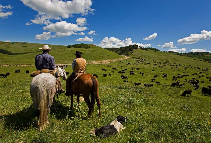 Two cowboys rounding up cattle in the USA