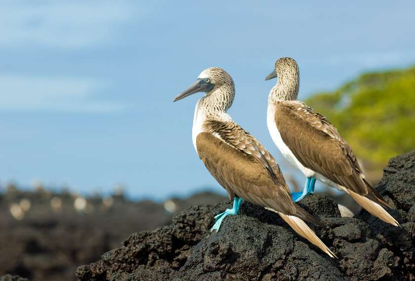Two blue footed boobies sitting on a rock in the Galapagos Islands, Ecuador