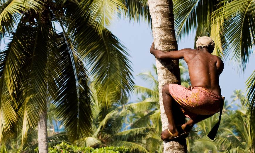Man climbing a palm to pick coconuts in Kerala, India