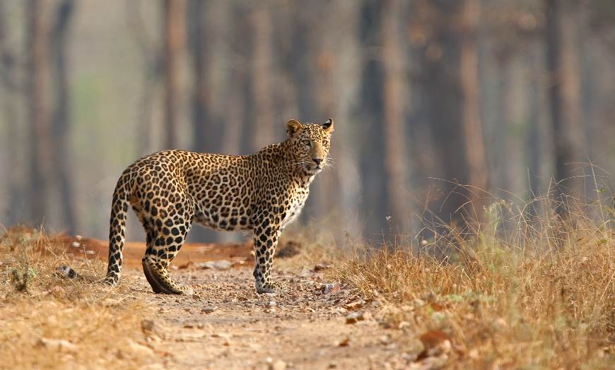 Leopard on a jungle track in Nagarahole National Park in Karnataka, India