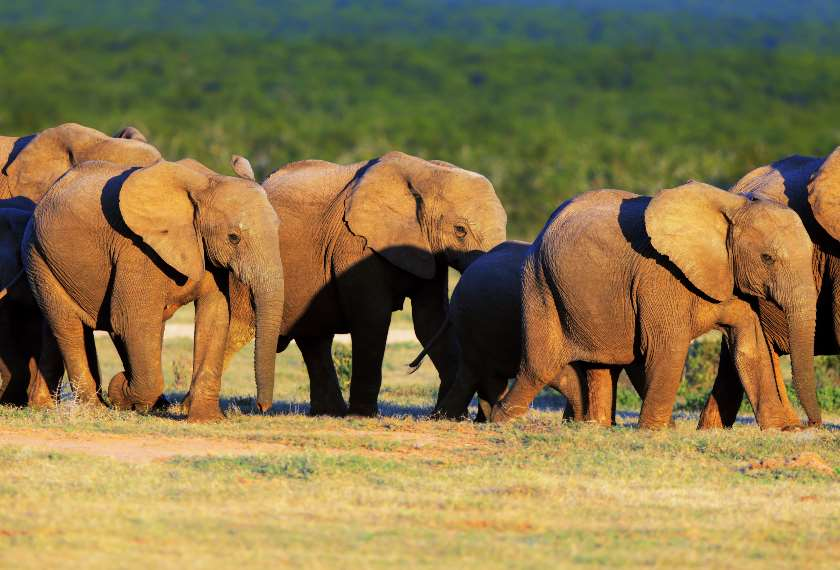 Elephant herd in the Eastern Cape, South Africa