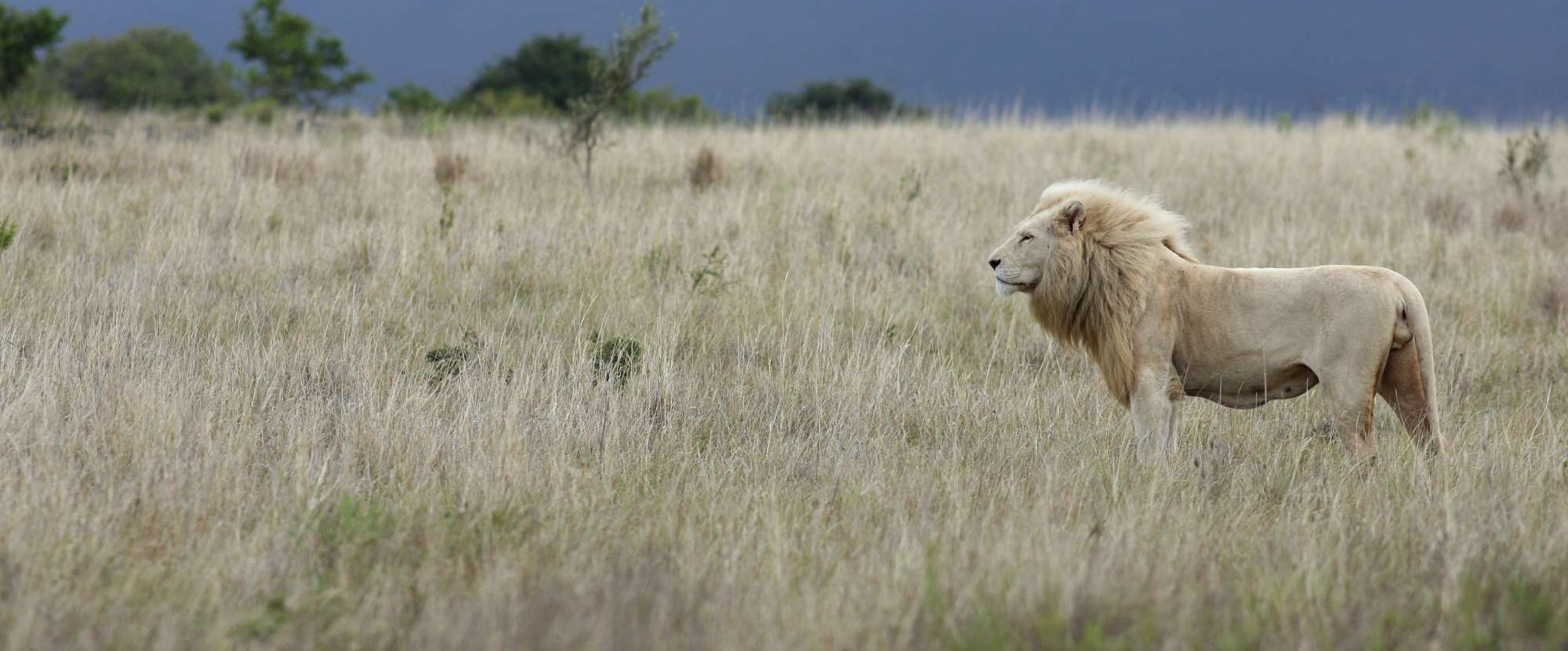 Meet the Big Five - The Lion