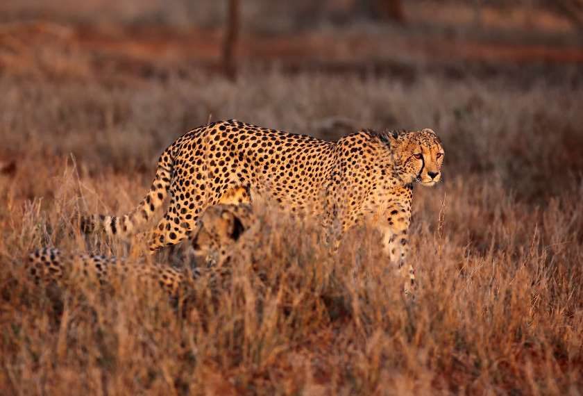Cheetah in a national park in South Africa