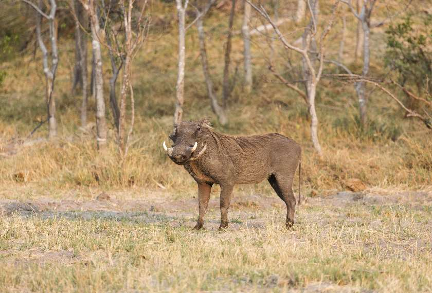 Common Warthog in South Africa