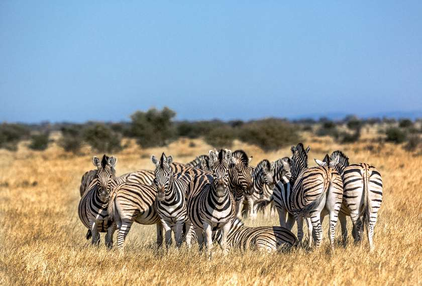 Group of Zebras in South Africa