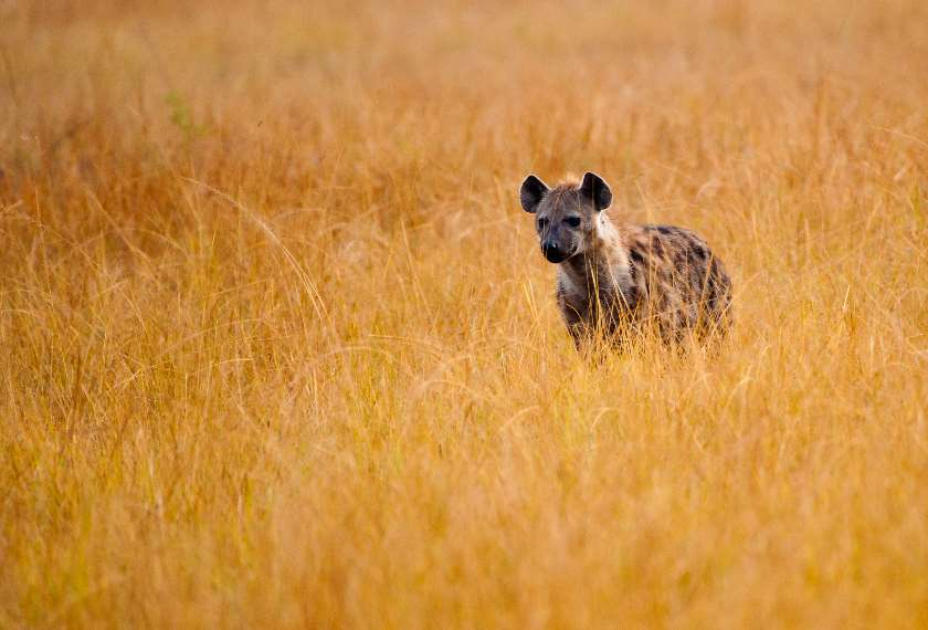 Hyena in a national park in South Africa