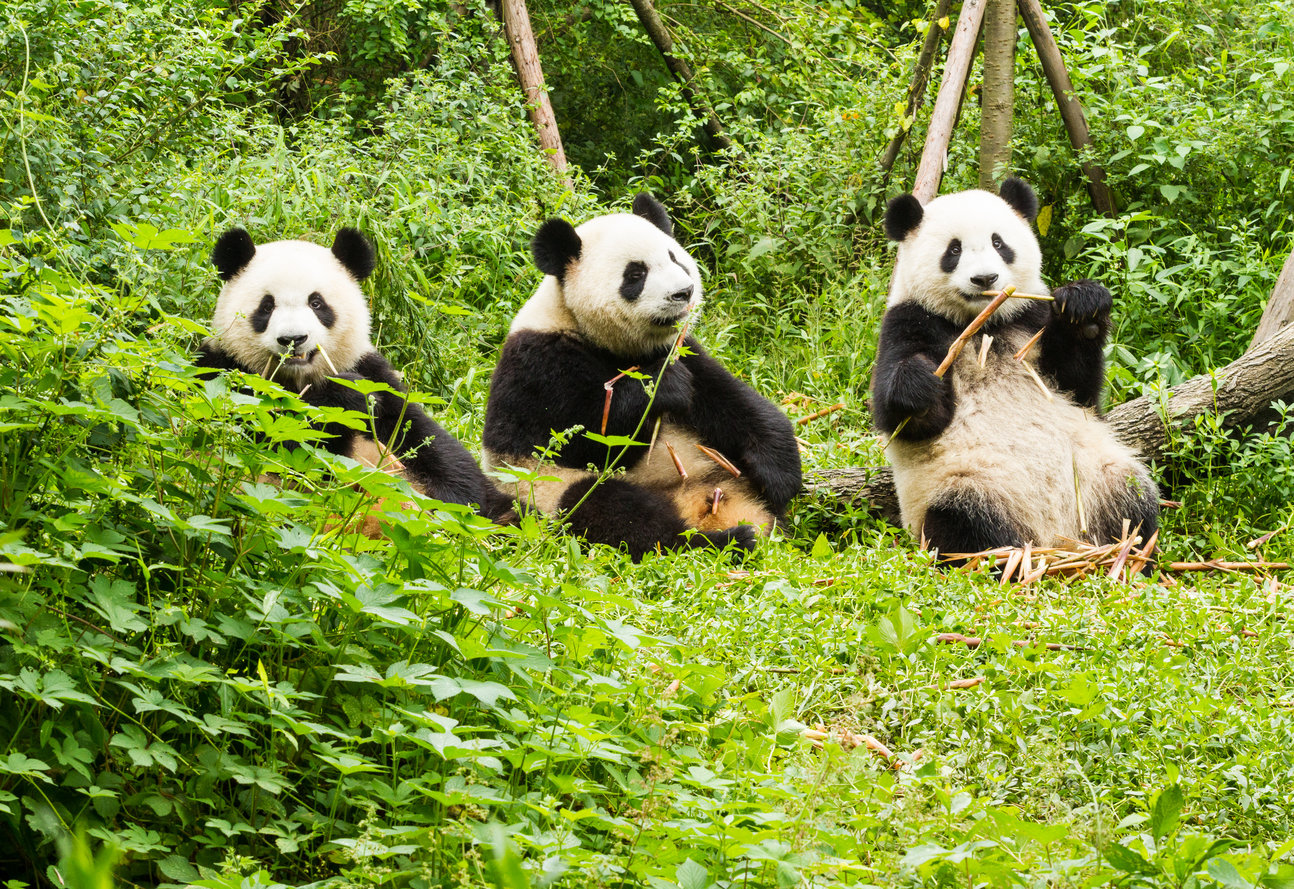 rsz 1pandas china conservation and research centre dujiangyan