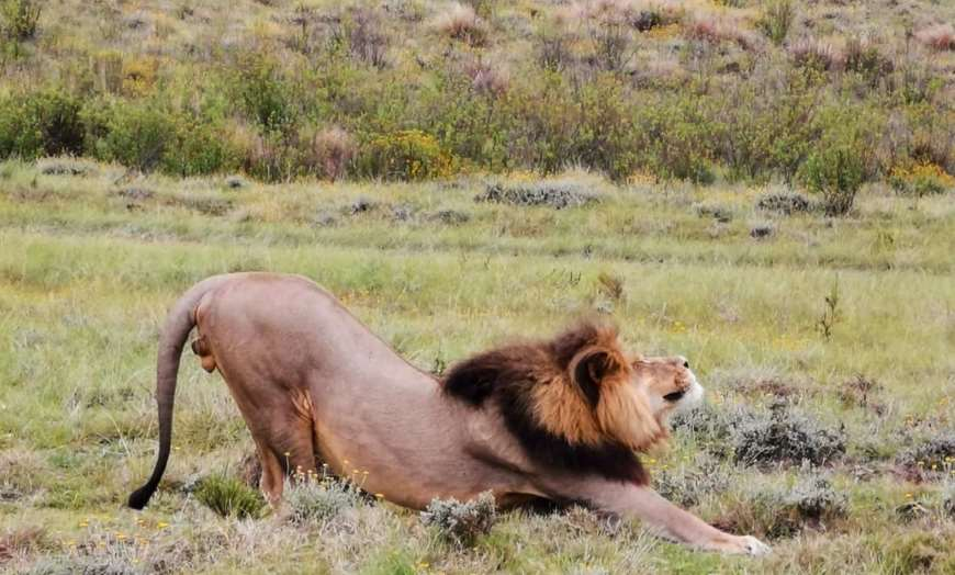 Lion in the Eastern Cape, South Africa