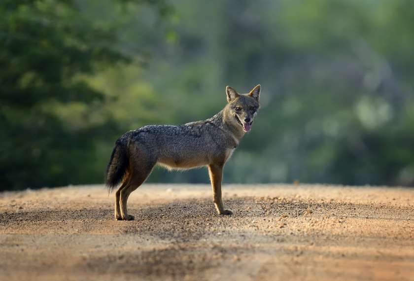 Black backed jackal in Sri Lanka