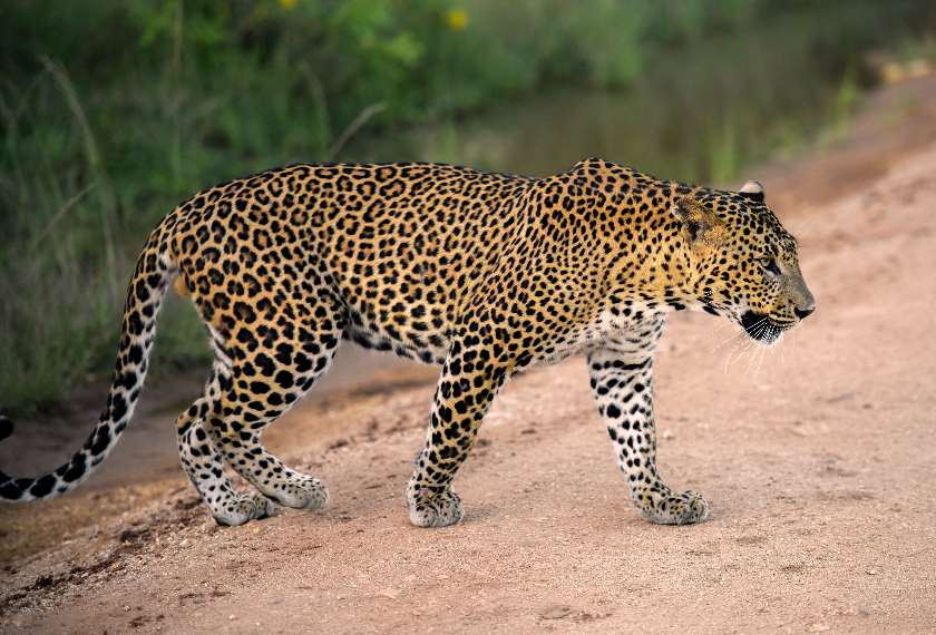 Sri lankan leopard walking across a forest track