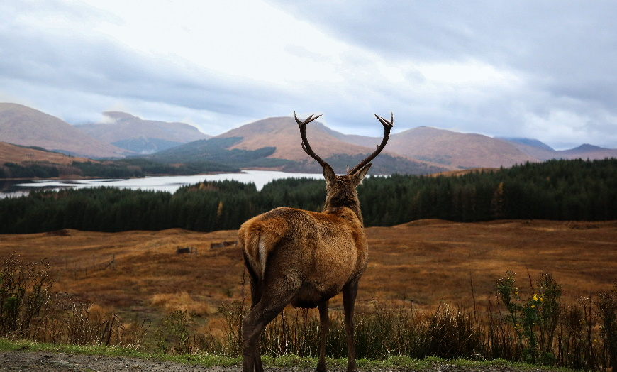 red stag in scottish highlands