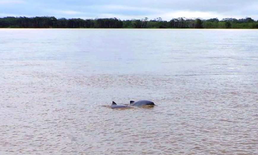 pink river dolphin amazon peru