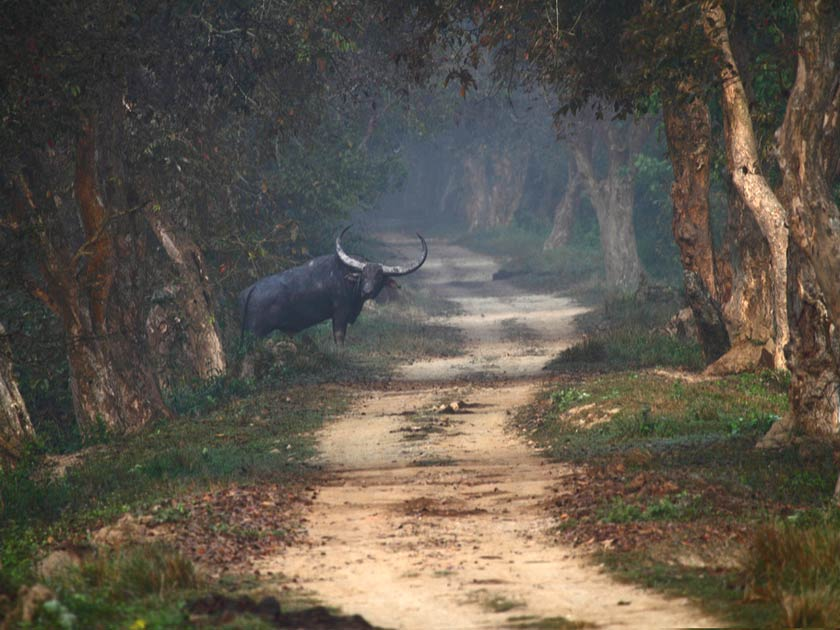 Wooded track with wild animal amongst trees at Kaziranga National Park in India