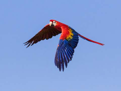 Brightly coloured scarlet macaw in flight