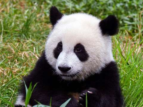 Close view of an adult panda sitting and eating bamboo