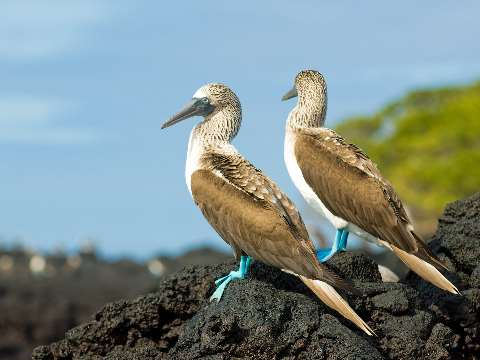 Two blue footed boobies on a rock in the Galapagos Islands