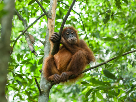 Young orangutan sitting in a tree in the Indonesian jungle
