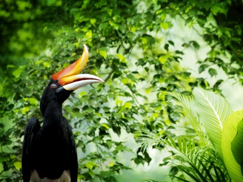 Large hornbill resting on a branch in the rainforest of Malaysia